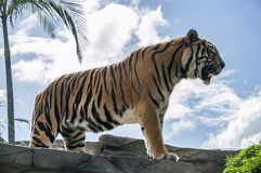 Huge tiger standing on a rock Royalty Free Stock Photo