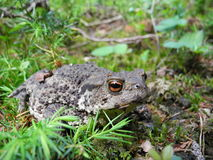 A huge toad. I found during a trip to a forest Stock Photos