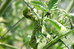Huge Tomato Hornworm. Close-up of a huge tomato hornworm on a tomato plant. Shot with a Canon 20D stock images