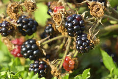 The Huge torn-free blackberries begin to ripen Royalty Free Stock Image