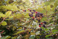 Huge torn-free blackberries begin to ripen, France. Huge torn-free blackberries begin to ripen Stock Photos