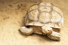 Huge tortoise on sand, close-up royalty free stock photos
