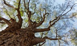 Huge tree Royalty Free Stock Photos