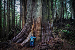 Huge Tree. Along the trail to Schooner Cove, Pacific Rim National Park, Tofino, BC Royalty Free Stock Image