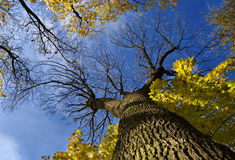 Huge tree from below Royalty Free Stock Photography