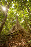 Huge tree with big roots in middle of jungles Royalty Free Stock Photography
