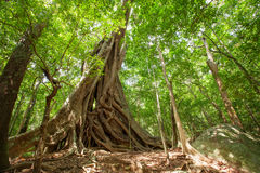 Huge tree with big roots in middle of jungles Stock Photo