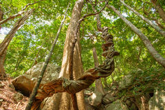 Huge tree with big roots in middle of jungles Stock Photos