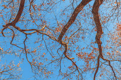 Huge tree, branches out in all directions, blue sky, view from b Royalty Free Stock Photography