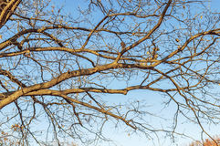 Huge tree, branches out in all directions, without leafs, blue s Stock Images