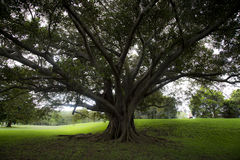Huge tree in Centenial park Royalty Free Stock Image