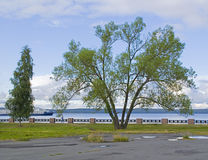 Huge tree on the city quay. On the Onego lake in Russia Stock Image