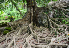The huge tree at Elephant temple in Bali, Indonesia Stock Photos