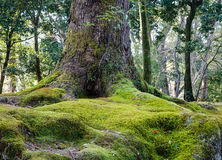 Huge tree at the forest in Kyoto, Japan.  Stock Photography
