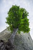 A huge tree growing in front of a tower Stock Image