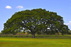 Huge Tree. In the middle of a green field with a blue sky Stock Photo