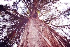 Huge tree near Tashiding Monastery, Sikkim, India. retro filter. Royalty Free Stock Photos