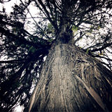 Huge tree near Tashiding Monastery, Sikkim, India. Vintage effec Stock Images