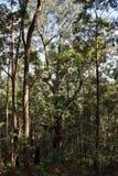 Huge tree at Ngungun Glass House Mountains National Park Stock Photos