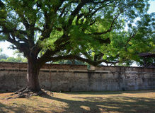 A huge tree at old fort in Penang, Malaysia Stock Photography