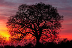 Huge tree over sunset Stock Images