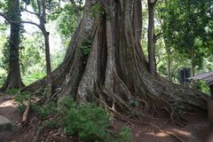 Huge tree at Periyar National Park, Thekkady, Kerala. India royalty free stock photo