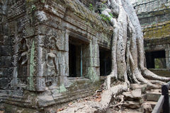 Huge tree roots engulf the ruined temple Royalty Free Stock Images
