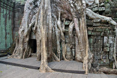Huge tree roots engulf the ruined temple Royalty Free Stock Photo