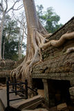 Huge tree roots engulf the ruined temple Stock Photos