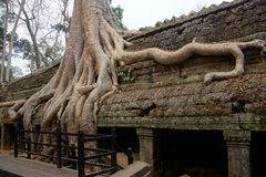 Huge tree roots engulf the ruined temple Stock Photography