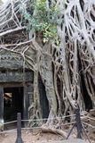 Huge tree roots engulf the ruined temple Stock Image
