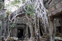 Huge tree roots engulf the ruined temple Stock Photo