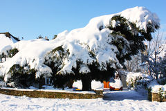 Huge tree with snow Royalty Free Stock Image