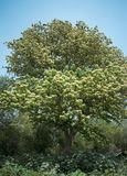 A huge tree standing bloomed with tiny flowers royalty free stock photo
