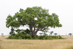 Huge tree in Tropes Stock Photography