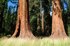 Huge Tree Trunk of Redwood Trees. The difference between the normal sized cone trees and the giant redwood trees is showing very clear Stock Image
