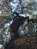 twisted tree seen from below royalty free stock photo