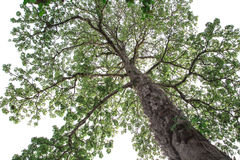 Huge tree on white background. in looking up viewed Stock Images
