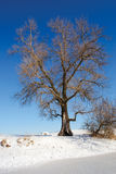 Huge tree on winter lake shore Royalty Free Stock Photos