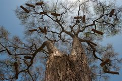 Huge trees with branchy crowns without leaves against the blue sky, on branches numerous homemade African hives, Africa. Huge trees with branchy crowns without Royalty Free Stock Photography
