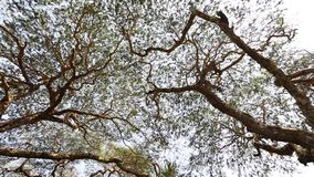Huge trees with green leaves stock video footage