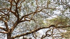 Huge trees with green leaves. In Bagan, Myanmar. Bagan is one of best destinations in Myanmar stock video