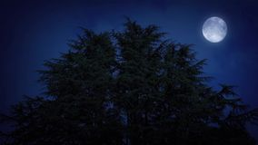 Huge Trees With Moon On Windy Night. Large group of trees swaying in the wind with full moon above them stock video