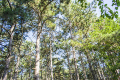 Huge trees in a pine forest. The sun shines very brightly. Huge trees in a pine forest. Very bright Royalty Free Stock Images