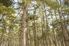 Huge trees in a pine forest. Sunlight makes its way through the trees. Sun`s rays make their way through the trunks of trees in a pine forest Royalty Free Stock Images