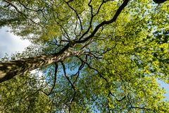 huge trees trunk royalty free stock image