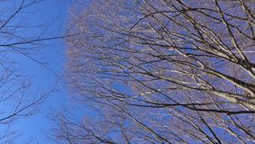 Huge trees under the blue sky. In Kawaguchiko village, Japan stock footage