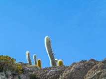 Huge Trichoreus cactus standing on Isla Incahuasi at salt plain Stock Photo