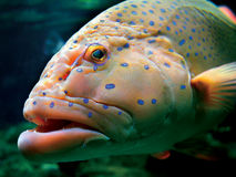 Huge tropical fish Royalty Free Stock Photo