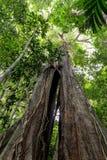 Huge tropical tree Royalty Free Stock Image